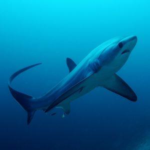 © Malapascua - Sea Explorers