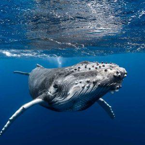 Humpback Whale of French Polynesia - ©-Greg-Lecoeur