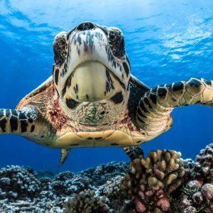 Turtle, French Polynesia, Moorea - ©-Greg-Lecoeur