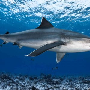Silvertip shark, French Polynesia, Rangiroa - ©-Greg-Lecoeur