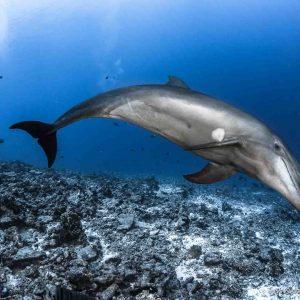 bottlenose dolphins in Tiputa pass - ©-Greg-Lecoeu