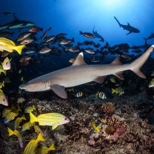 Tahiti - Top Dive - © Frederique Legrand